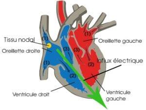 fonctionnement du coeur humain pdf